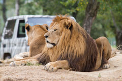 Lions resting under a tree Royalty Free Stock Image