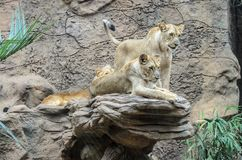 Lions restling at the zoo in Loro Park , Puerto de la Cruz stock images