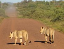 Lions On Road. With vehicle approaching in distance Stock Photography