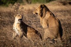 Free Lions Roar At Each Other After Mating Royalty Free Stock Photo - 172368835