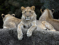 Lions on the rock 1 Royalty Free Stock Image
