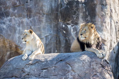 Lions on a Rock Stock Photos