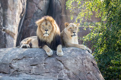 Lions on a Rock Stock Photography