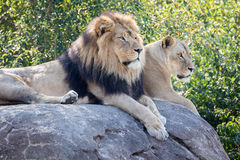 Lions on a Rock Royalty Free Stock Photos