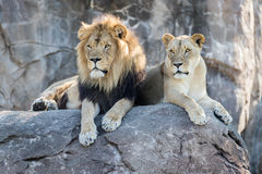 Lions on a Rock Stock Images