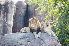 Lions on a Rock Royalty Free Stock Photo