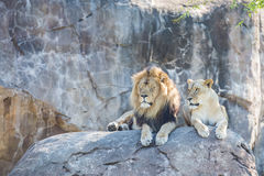 Lions on a Rock Royalty Free Stock Images