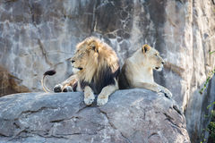 Lions on a Rock Royalty Free Stock Photography
