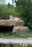 Lions on the rocks Stock Photography