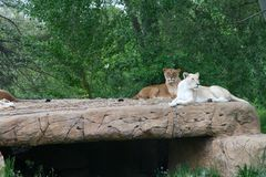 Lions on the rocks Royalty Free Stock Image