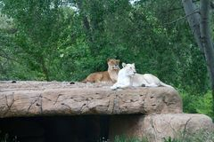 Lions on the rocks Royalty Free Stock Photos