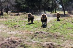 Lions running. Male lions running in Zimbabwe Stock Photography