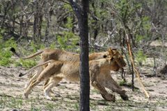 Lions running in the savanna Stock Image