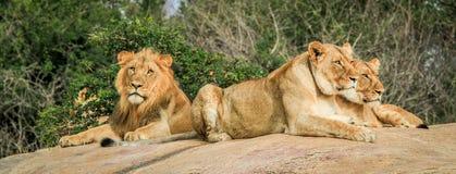 Lions s'étendant sur les roches photos stock