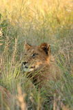 Lions in the Sabi Sand Game Reserve. South Africa Royalty Free Stock Photo