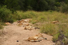 Lions in the Sabi Sand Game Reserve Royalty Free Stock Photography