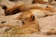 Lions in the Sabi Sand Game Reserve Stock Photography