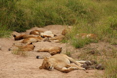 Lions in the Sabi Sand Game Reserve. South Africa Royalty Free Stock Images