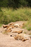 Lions in the Sabi Sand Game Reserve. South Africa Royalty Free Stock Image