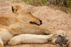 Lions in the Sabi Sand Game Reserve Royalty Free Stock Photos