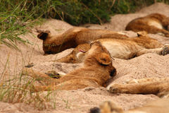 Lions in the Sabi Sand Game Reserve Stock Image