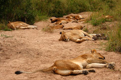 Lions in the Sabi Sand Game Reserve. South Africa Stock Photography
