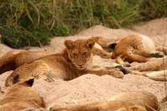 Lions in the Sabi Sand Game Reserve. South Africa Royalty Free Stock Photography