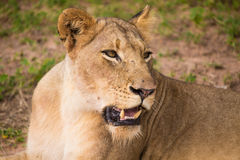 Lions at Sabi Sand Game Reserve Royalty Free Stock Photography
