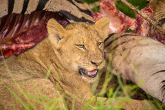 Lions at Sabi Sand Game Reserve Stock Photography