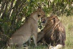 Lions saluant Photographie stock