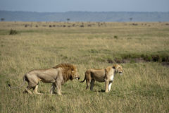 Lions saluant Photo stock