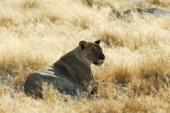 Lions in the savannah, Etosha National Park, Namibia Stock Image