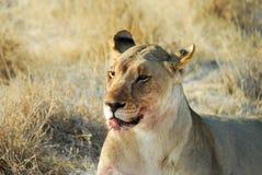 Lions in the savannah, Etosha National Park, Namibia Stock Photos