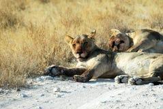 Lions in the savannah, Etosha National Park, Namibia Stock Images