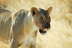 Lions in the savannah, Etosha National Park, Namibia Royalty Free Stock Photo