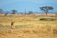 Lions in the savannah, Serengeti National Park, Tanzania stock photography