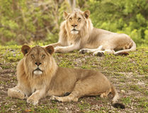 Lions - Selective Focus Stock Photography