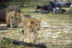 Lions, Selous Game Reserve, Tanzania Stock Photography
