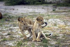 Lions, Selous Game Reserve, Tanzania Stock Image