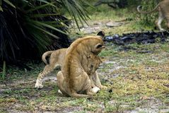 Lions, Selous Game Reserve, Tanzania Royalty Free Stock Image