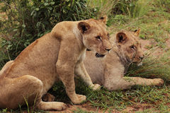 Lions Serengeti, Afrika Arkivfoton