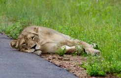 Lions in the Serengeti Stock Images