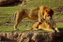 Lions in the Serengeti royalty free stock image