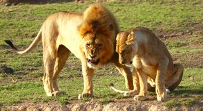 Lions in the Serengeti royalty free stock photography