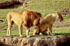 Lions in the Serengeti royalty free stock photo