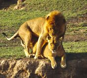 Lions in the Serengeti stock photos