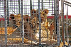 The lions sits in a cage and sad look. Through the bars royalty free stock photo