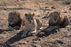 3 lions. Sitting under the South African sun awaiting lunch.  The male lions guard the lioness from either side Royalty Free Stock Photography