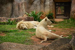 Lions sleep, male and female. Royalty Free Stock Images