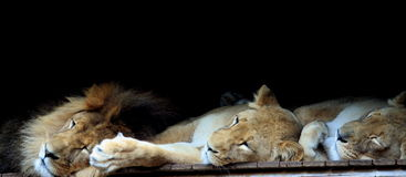 The lions sleep tonight. Sleeping lions at Taronga Zoo Stock Photo